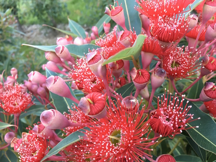 Corymbia ficifolia Blaze of Red