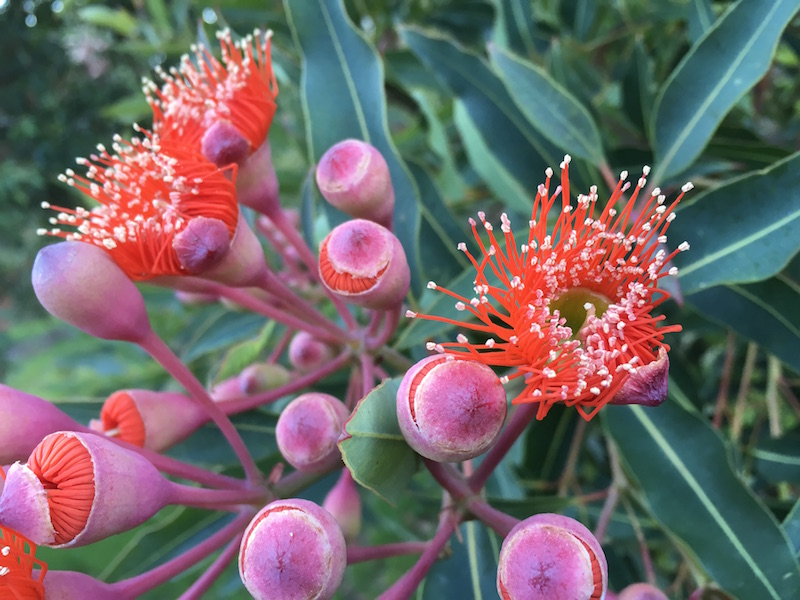 Corymbia ficifolia Orange all Over